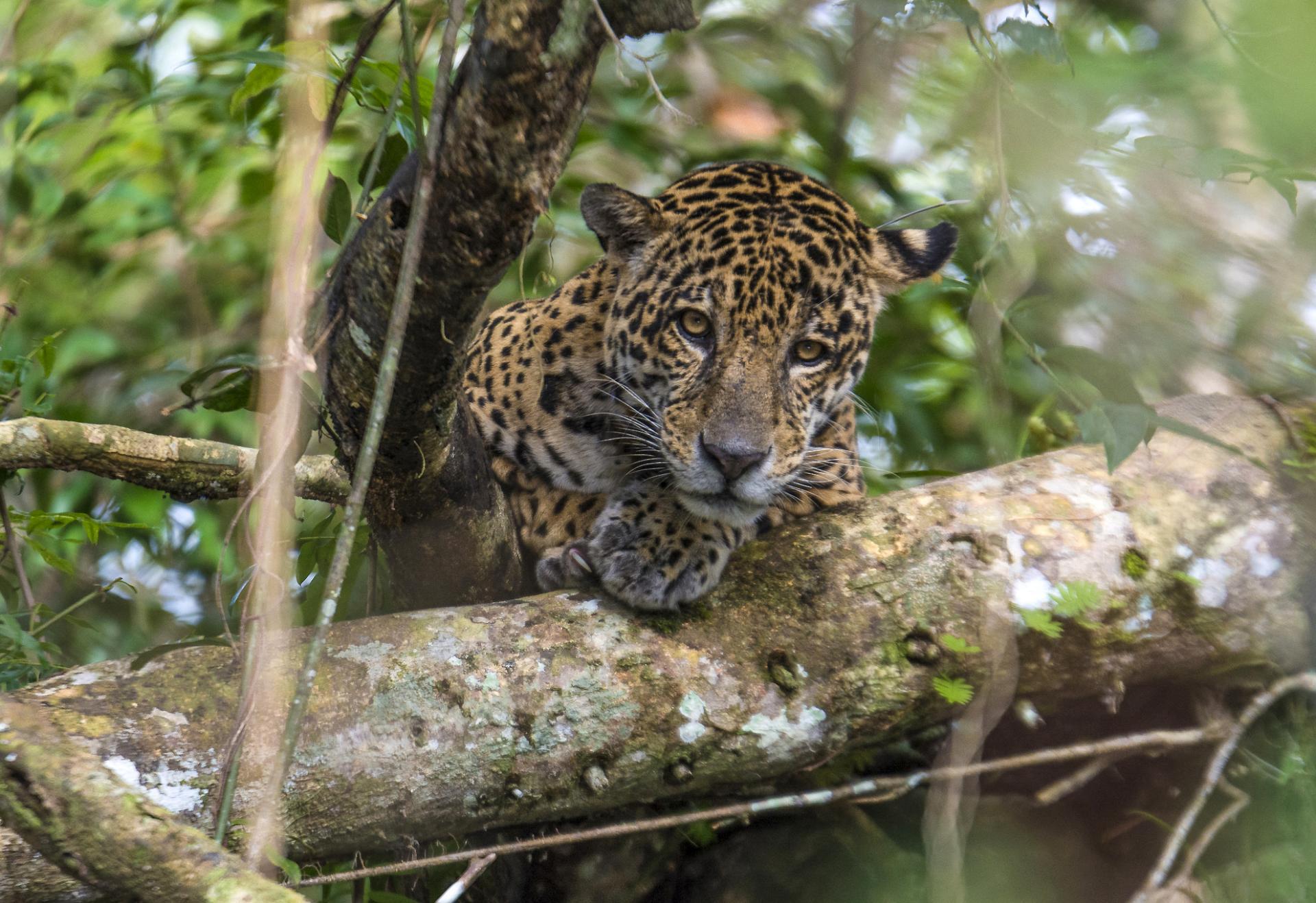 Jaguar in Tefe in Brazil