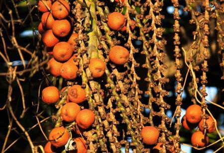 Buriti Palm Tree