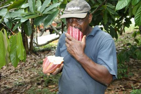 Worker on a Brazilian cocoa plantation