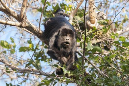 A big monkey sitting in a tree in the North Pantanal