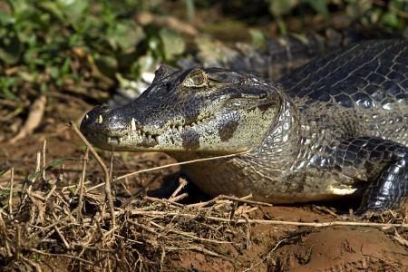 A caiman on the riverbanks of the North Pantanal