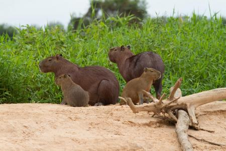 A family of Capybaras on a sandbank in the North Pantanal
