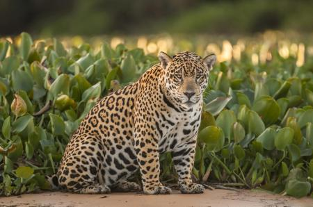 A jaguar sitting on a riverbank in the North Pantanal