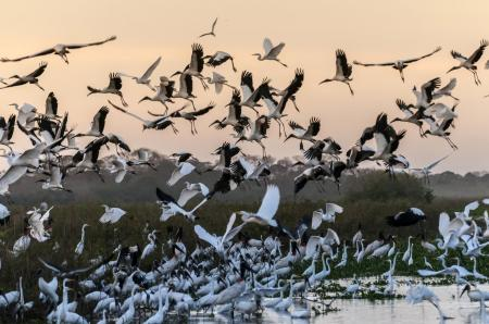 Birds landing on the water during sunset in the North Pantanal