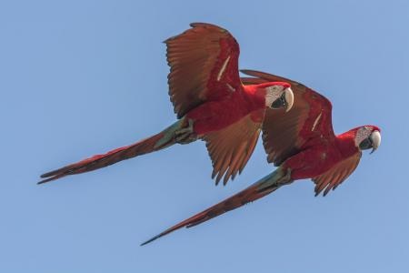 A couple of macaws flying by in Bonito