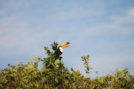 A tucano in the trees of Bonito in the Southern Pantanal