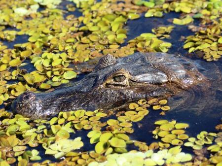 Caiman in the North Pantanal Region