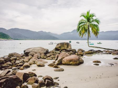 A palm tree on the beach, in the background the Atlantic Rainforest of Ilha Grande