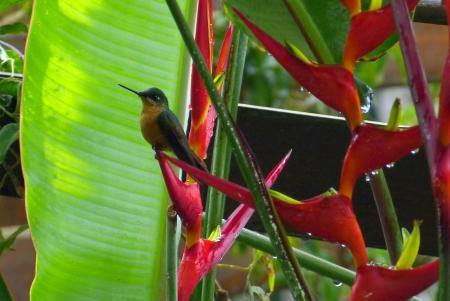 A small colibri on a colorful banana flower at Eco Lodge Itororo in Nova Friburgo
