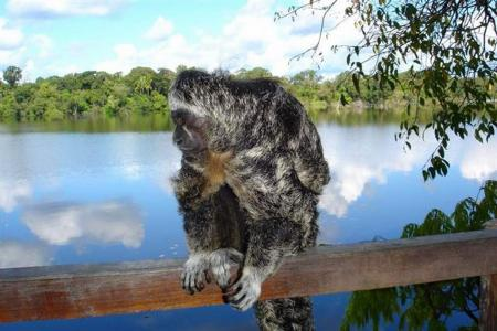 Amazon Juma Lodge: A small Monkey sitting on the handrail in front of the river