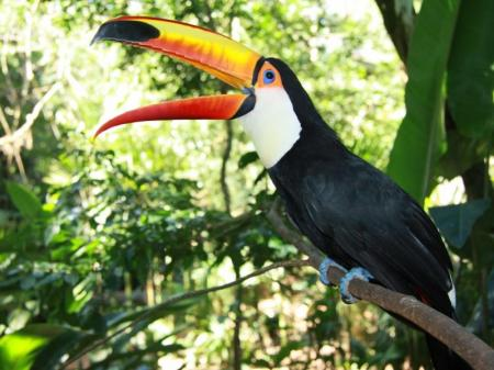 Toucan in the rainforest