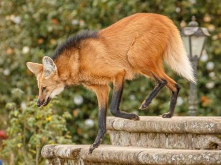 When descending the stairs: Lobo Guara Santuario do Caraca credits Eduardo Franco Destinos