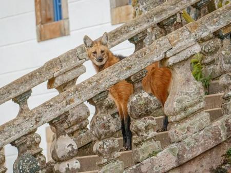 On the stairs: Lobo Guara Santuario do Caraca credits Eduardo Franco Destinos