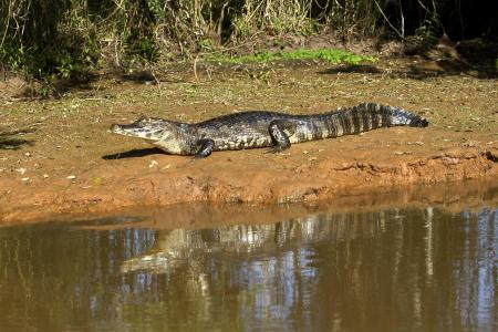 A caiman laying in the sun on a river bank in the northern Pantanal