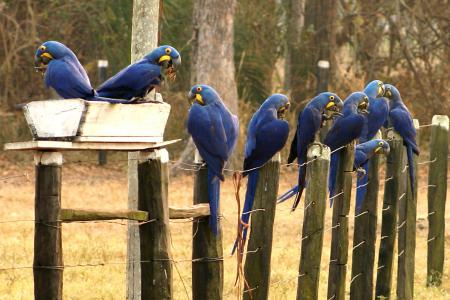 Blue Macaws at Caiman Lodge