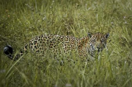 A jaguar in the grasslands of the southern Pantanal