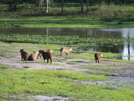 A group of capybaras in the South Pantanal