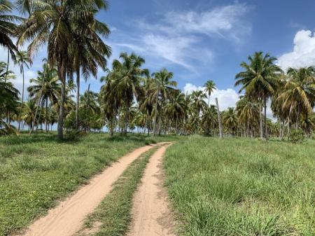 Little sand trail lined with coconut palms at Praia do Morro