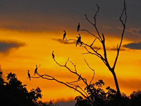 Sunset in the Amazon, with birds in a tree
